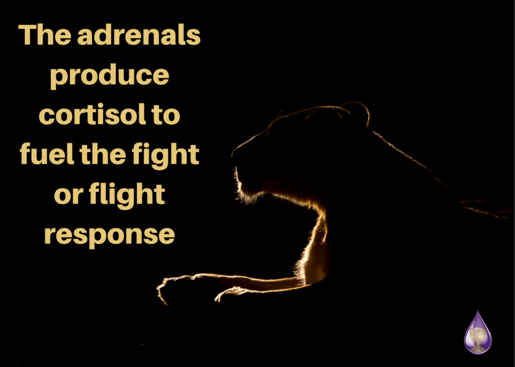 The adrenals produce cortisol to fuel the fight or flight response
