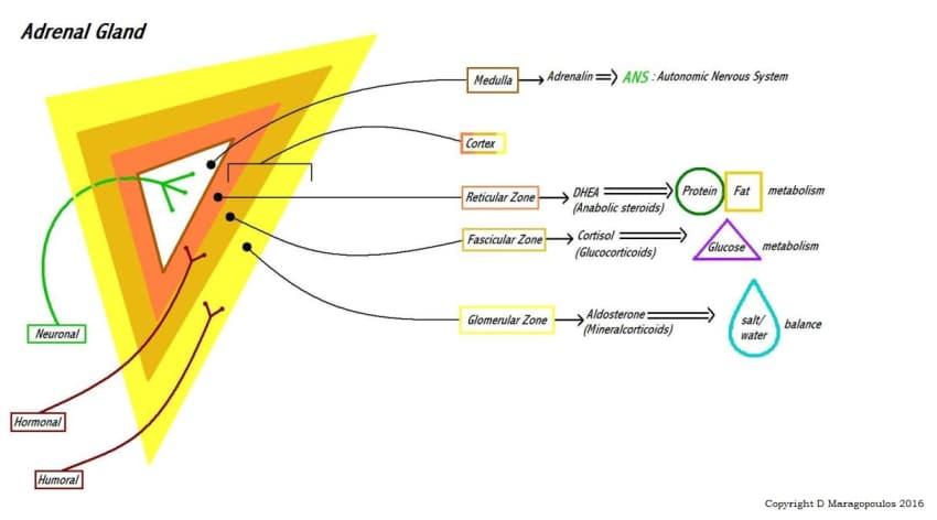 image of adrenal diagram