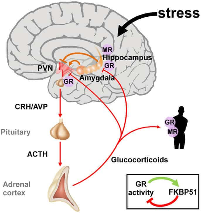 image of Hypothalamic-pituitary-adrenal_axis